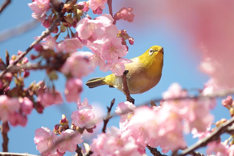 まだ2月なのに大村や雲仙で桜が咲き始めてる!