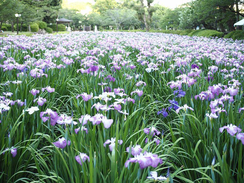 6/2大村公園の花菖蒲が満開なう♪花菖蒲まつりは明日開催!