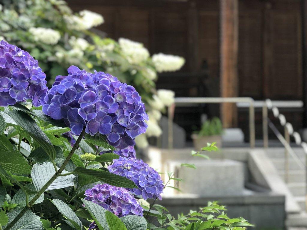 紫陽花|光永寺